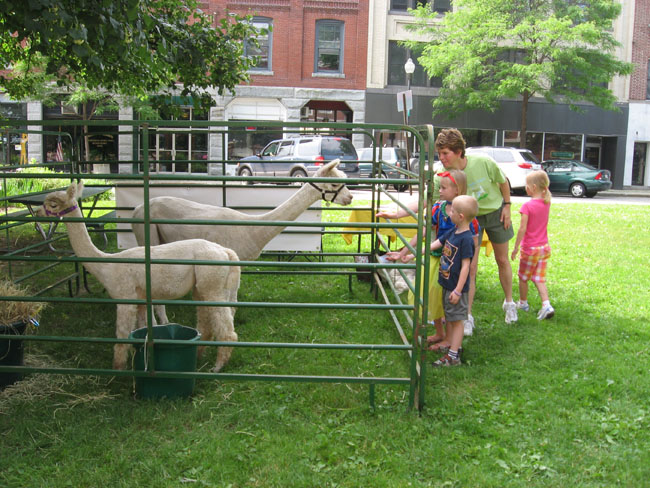 Feeding alpacas-med